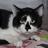 Domestic Shorthair Cat for adoption in Lombard, Illinois - Garth Brooks