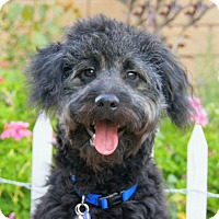 Adopt A Pet :: Chomper von Chee - Thousand Oaks, CA