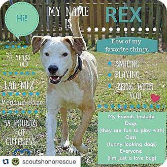 Labrador Retriever/American Bulldog Mix Dog for adoption in Houston, Texas - Rex