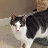 Domestic Shorthair Cat for adoption in Hilton Head, South Carolina - Fergie