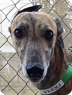 Greyhound Dog for adoption in Longwood, Florida - Flying Freya