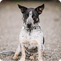 Adopt A Pet :: Bud - Portland, OR