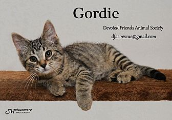 Domestic Shorthair Kitten for adoption in Ortonville, Michigan - Gordie