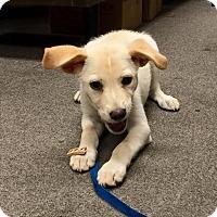 Adopt A Pet :: Lady - Uxbridge, MA