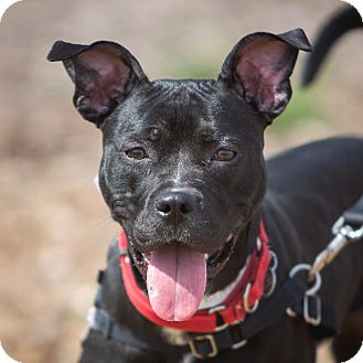 Labrador Retriever/Terrier (Unknown Type, Small) Mix Dog for adoption in Dearborn, Michigan - Sunflower