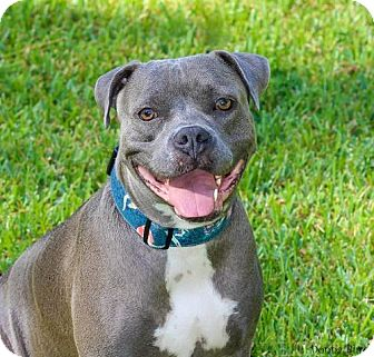 Pit Bull Terrier Mix Dog for adoption in Gainesville, Florida - Shaye