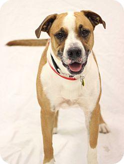 Boxer/Labrador Retriever Mix Dog for adoption in Bradenton, Florida - Jaxx