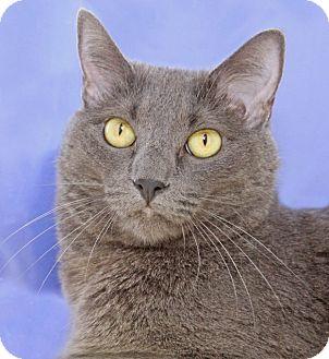 Domestic Shorthair Cat for adoption in Encinitas, California - Emma