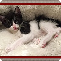 Domestic Shorthair Kitten for adoption in Mt. Prospect, Illinois - Lincoln