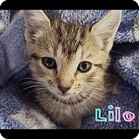Adopt A Pet :: Lilo - oklahoma city, OK
