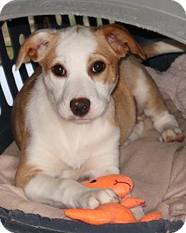 Labrador Retriever/Australian Shepherd Mix Puppy for adoption in Albany, New York - Tazzie