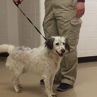 English Setter/Brittany Mix Dog for adoption in Marietta, Georgia - TN/Snowy