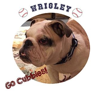 English Bulldog Puppy for adoption in Park Ridge, Illinois - Wrigley