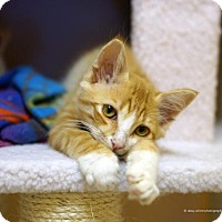 Domestic Mediumhair Cat for adoption in Tucson, Arizona - Kiowa