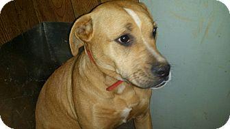 Rhodesian Ridgeback/Boxer Mix Dog for adoption in Demorest, Georgia - Rosa
