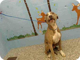 Pit Bull Terrier Mix Dog for adoption in San Bernardino, California - A499708