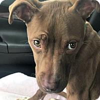 Adopt A Pet :: Poppy Von White Socks - Indianapolis, IN