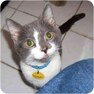 Domestic Shorthair Kitten for adoption in New York, New York - Wall-E the Sweet-E