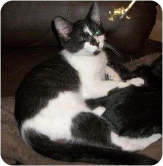 Domestic Shorthair Kitten for adoption in Cocoa, Florida - Justin