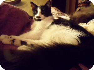 Maine Coon Kitten for adoption in Ennis, Texas - Max