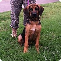 Adopt A Pet :: Dumbo - Fort Riley, KS