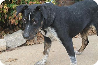 Anatolian Shepherd/Labrador Retriever Mix Dog for adoption in Union City, Tennessee - Daisy
