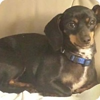 Dachshund/Chihuahua Mix Dog for adoption in Jacksonville, Florida - Bailey