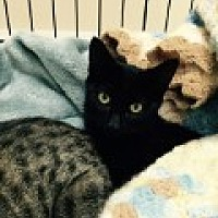 Domestic Shorthair Cat for adoption in Livonia, Michigan - Marcie