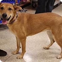 Labrador Retriever/German Shepherd Dog Mix Dog for adoption in Branford, Connecticut - Regina
