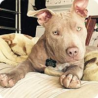 Adopt A Pet :: Mercy - Los Angeles, CA