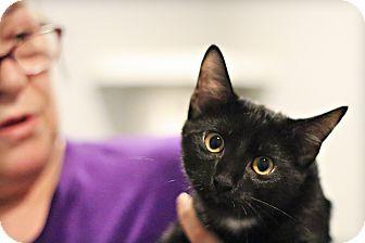 Domestic Shorthair Kitten for adoption in Lincoln, Nebraska - Joplin