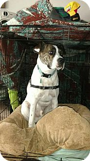 Boxer/Pointer Mix Dog for adoption in Newport, Kentucky - Ripley