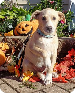 Retriever (Unknown Type) Mix Puppy for adoption in West Chicago, Illinois - Conley
