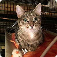 Domestic Shorthair Cat for adoption in Lombard, Illinois - Streisand