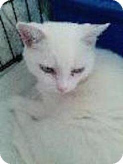 Domestic Shorthair Cat for adoption in Satellite Beach, Florida - Acadia