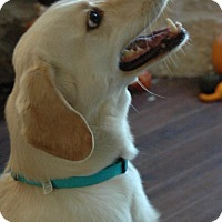 Golden Retriever Mix Dog for adoption in Von Ormy, Texas - Yeolie(CPR)