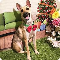 Adopt A Pet :: Kapli - Castro Valley, CA