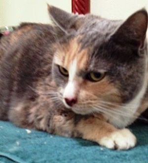 Calico Cat for adoption in Orange, California - Henny Penny