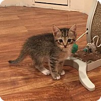 Adopt A Pet :: 2 male kittens - Edinburg, PA