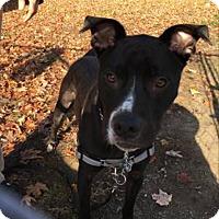 Adopt A Pet :: Bud-E - Acushnet, MA
