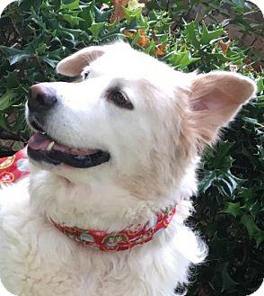 Great Pyrenees/Australian Shepherd Mix Dog for adoption in Dallas, Texas - Snow