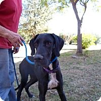 Great Dane Puppy for adoption in El Paso, Texas - Chyna