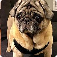 Adopt A Pet :: Lady - Farmington, MI