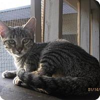 Adopt A Pet :: Elissa - Glendale, AZ