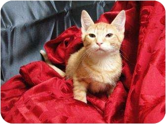Domestic Shorthair Kitten for adoption in Orlando, Florida - TIfton