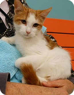 Domestic Shorthair Kitten for adoption in Reston, Virginia - Archie
