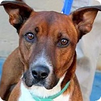 Adopt A Pet :: ROSCOE(ADORABLE LITTLE FELLOW! - Wakefield, RI