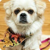 Adopt A Pet :: Sassafrass - Portland, ME