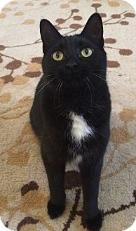 Domestic Shorthair Cat for adoption in Davison, Michigan - Melman