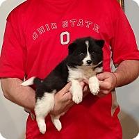 Adopt A Pet :: Lily - Gahanna, OH